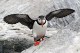 Puffins are little guys (about a foot tall) and they come to the island to breed.