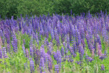 Lupines in Cutler