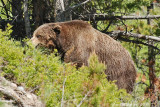 Scarface, a famous grizzly in Yellowstone.
