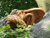 Polyporus squamosus (Dryads saddle)