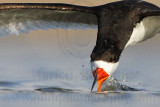 Black Skimmer: On the Wing