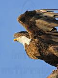 Osprey - Natural Enemies - Bald Eagle