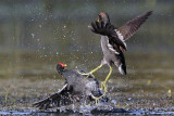 Common Moorhens fighting 2 - UTC November 2009