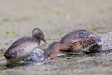 Least Grebe – Interspecific Interactions with Pied-billed Grebe BBSP