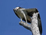 Osprey - Leg and Wing Stretch