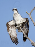 Osprey - Drying out on the perch