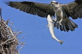 Osprey - Bringing fish to the nest: female
