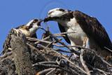 Osprey - Feeding chicks - about 6 weeks old