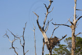 Osprey - Nests -  Natural settings