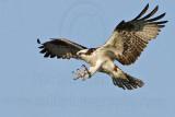Osprey - Landing on the perch
