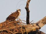 Osprey - Female begging call for food