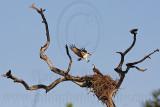 Osprey - Courtship feeding