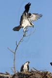 Osprey - Adding material to the nest: sticks