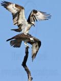Osprey - Copulation attempts