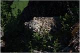 panthère des neiges 11 snow leopard.JPG