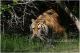 TIGRE -   TIGER 7.JPG