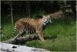 TIGRE -  TIGER 28.JPG