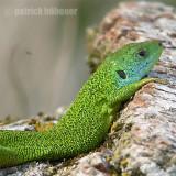 reptiles and mammals