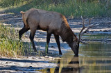 Elk at a Canmore watering hole.