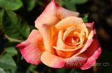 Rose (5609)