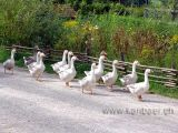 Gaense / Geese (09549)