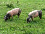 Schweine / Pigs (09608)