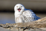 snowy_owl_and_other_recent_images