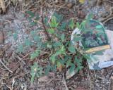 Plants that didn't make it (Tag #999)