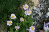Bellis rotundifolia Carolescens