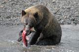 Grizzly Bear at Hannah Creek