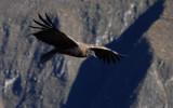 Condor in Canyon Colca