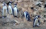 Pinguins, Ballestas Islands
