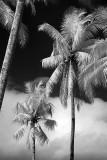 Palms at Borobudur.