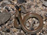 Red-naped snake, Furina diadema