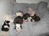 Angus x Terlingfair breeding 4M-3F 10/11/2008