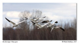 Oies des neiges  Snow geese