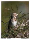Bruant chanteurSong sparrow