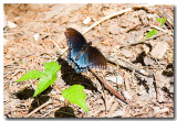 Tennessee Butterflies