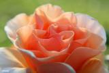 0410- rose at kulcurna