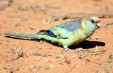 Australian Ringneck Parrots