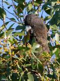 9831-redtail-female