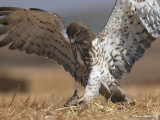 Short-toed Eagle 8845
