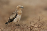 Short-toed Eagle 2723