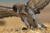 Short-toed Eagle 8848