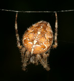 Spiders : Araneae