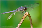Slaty Skimmer Black Dragonfly (Libellula incesta)