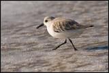 _MG_0187 sanderling wf.jpg