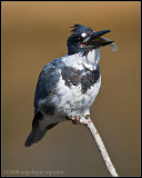 _MG_5275 kingfisher wf.jpg