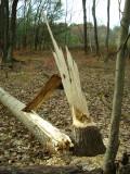 Aspen Stump.JPG