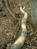 Barking of cut aspen.JPG